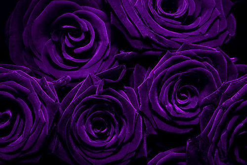 Purple-roses-for-susan-peterslover-20324692-500-334